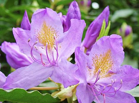 Baslee Troutman - Beautiful Bright Purple Rhodies Lavender Rhododendrons