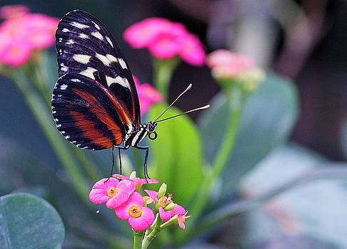 Garvin Hunter - Beautiful Butterfly