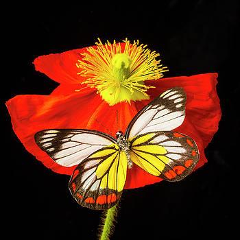 Beautiful Butterfly on Poppy by Garry Gay