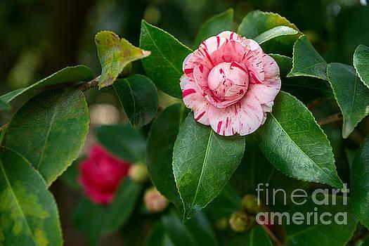 Jamie Pham - Beautiful Camellia Marischino flower.