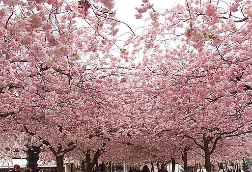 Beautiful Cherry blossom in Stockholm in May by Tamara Sushko