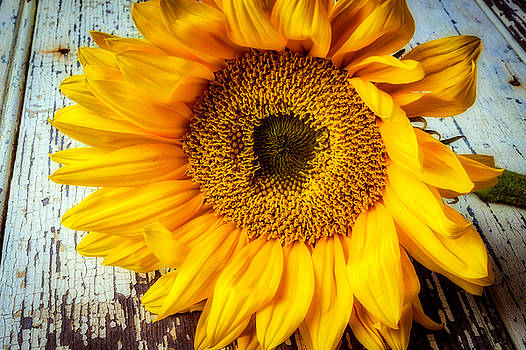 Beautiful Classic Sunflower by Garry Gay
