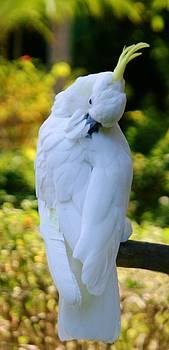 Beautiful Cockatoo 2 by Sheryl Unwin