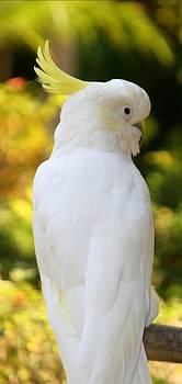 Beautiful Cockatoo by Sheryl Unwin