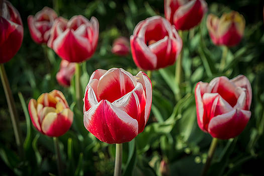 Beautiful Colorful tulips blooms in spring by Julian Popov