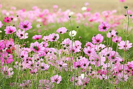 Beautiful Cosmos Flower by Keattikorn Samarnggoon