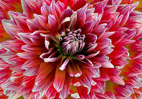 Beautiful Dahlia by Michele Avanti