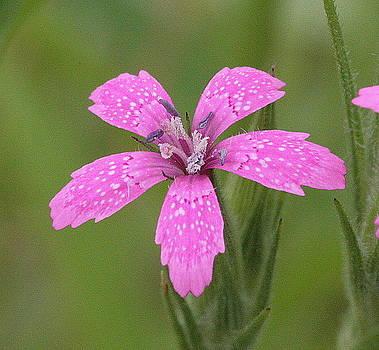 Beautiful Depthford Pink by Matt Cormons