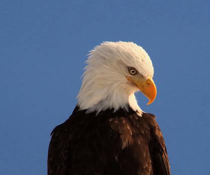 Beautiful Eagle by Jeff Swan