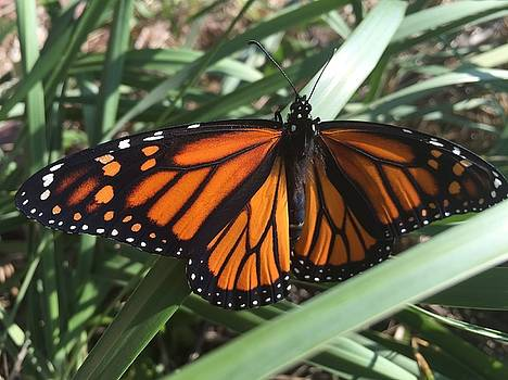Beautiful Fall Butterfly  by Paula Brown