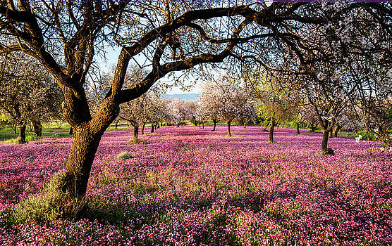 Beautiful field with purple veil of flowers in the ground. by Michalakis Ppalis