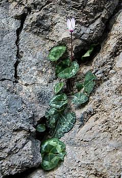 Beautiful fresh cyclamen flower between the rock crevasse by Michalakis Ppalis