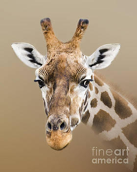 Beautiful Giraffe by Linsey Williams