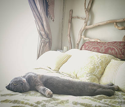 Beautiful gray Scottish Fold cat relaxing on a bed by Bradley Hebdon