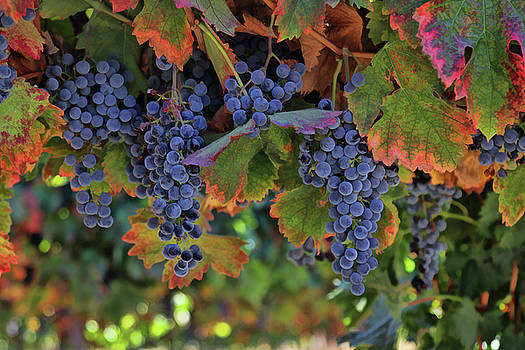 Beautiful Harvest Wine Vineyard by Stephanie Laird