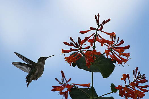 Beautiful Hummingbird by Cinneidi Comfort