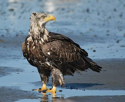 Patricia Twardzik - Beautiful Juvenile Eagle