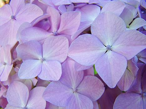 Baslee Troutman - Beautiful Lavender Purple Hydrangea Flowers Baslee Troutman