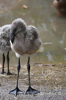 Beautiful little baby flamingos with fluffy feathers  by DejaVu Designs