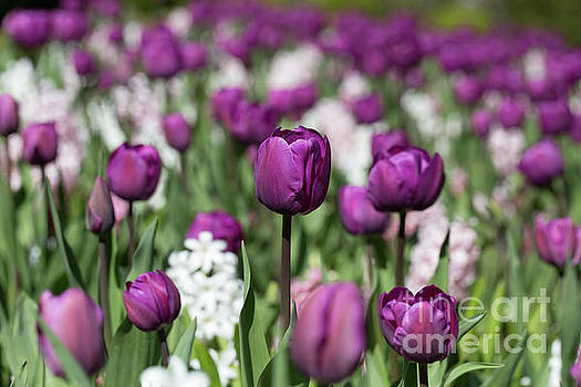 Beautiful magenta tulips in spring by Louise Heusinkveld