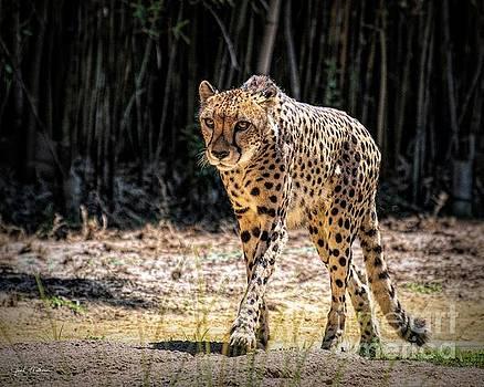 Beautiful Maive - Cheetah by Jan Mulherin