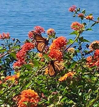 Beautiful Monarch Butterflies at Play by Jan Moore