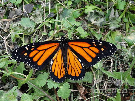 Beautiful Monarch Butterfly by Joseph Baril