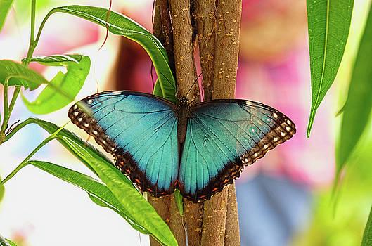 Beautiful Blue Morpho by Ronda Ryan