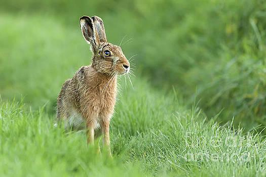 Simon Bratt Photography LRPS - Beautiful Norfolk wild hare sat on grass