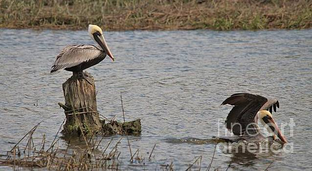 Paulette Thomas - Beautiful Pelicans