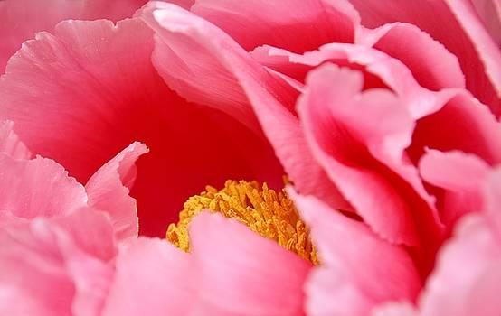 Beautiful Peony Blossom by Werner Lehmann
