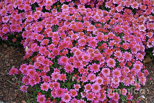 Beautiful Pink Mums  by Ruth Housley