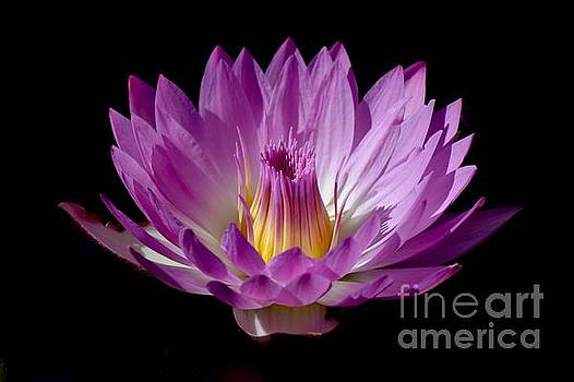 Beautiful Pink Pearl Lily by Jeannie Rhode