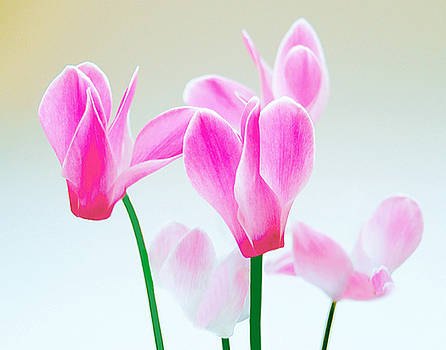 Beautiful Pink by Roger Bester