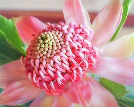 Beautiful pink shades on a waratah flower by Daniela Constantinescu
