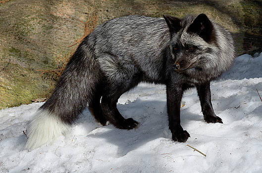 Reimar Gaertner - Beautiful Red Fox with black and silver markings in a snow cover