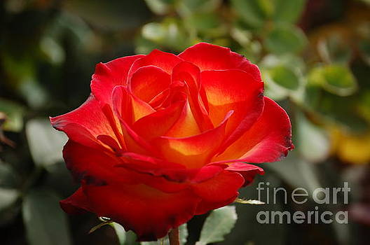 Beautiful Rose by Frank Stallone