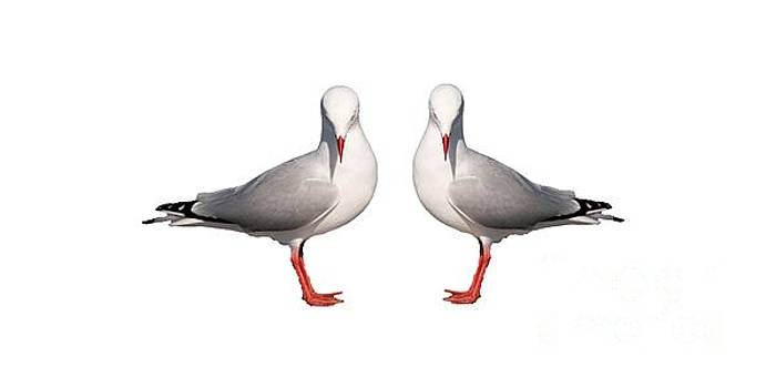 Beautiful Silver Gull. Original and Exclusive Photo Art. by Geoff Childs