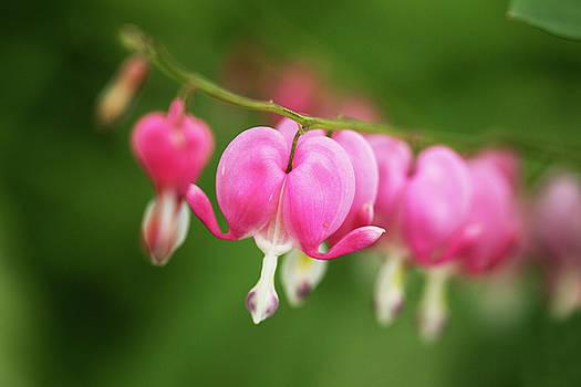 Beautiful Spring Bleeding Hearts Flowers In My Garden by Carol Mellema