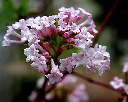 Beautiful Spring Blossoms - Koreanspice Viburnum by R V James
