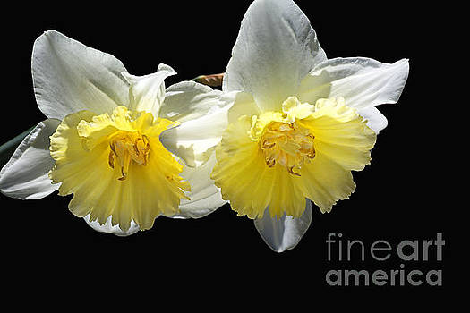 Beautiful Spring Life Of Two Daffodils by Joy Watson