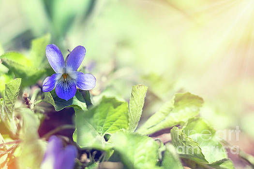 Beautiful spring violet flowers Viola odorata by Victoria Kondysenko