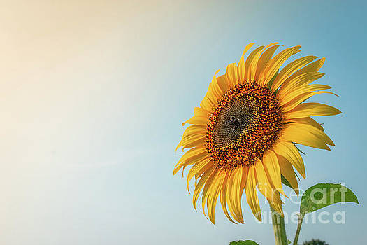Beautiful sunflower and sun light form top left. by Tosporn Preede