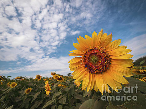 Beautiful sunflower plant in the field, Thailand. by Tosporn Preede