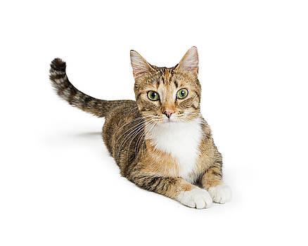 Beautiful Tabby Cat Looking At Camera by Susan Schmitz