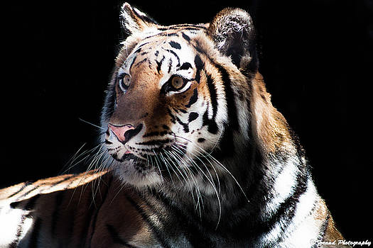 Beautiful Tiger  by Debra Forand