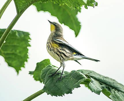 Beautiful Warbler by John Brink