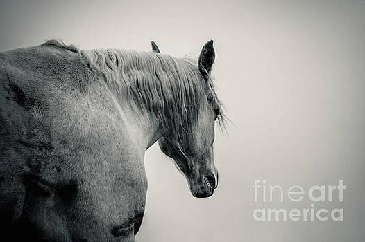 Dimitar Hristov - Beautiful White Arabian Horse Lonely Horse
