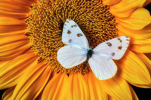 Beautiful White Butterfly On Sunflower by Garry Gay