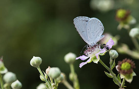 Beautiful white butterfly resting on a flower and feeding. by Michalakis Ppalis
